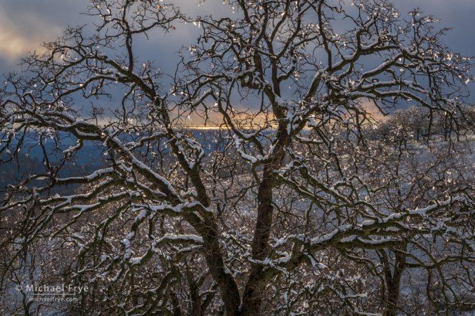 Ice ornaments on an oak tree, Mariposa County, CA, USA