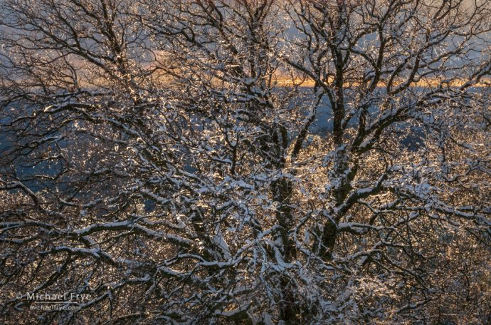 Oak tree encased in ice and snow, Mariposa County, CA, USA