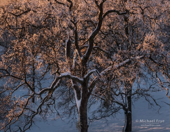 Blue oaks coated in snow and ice, Mariposa County, CA, USA