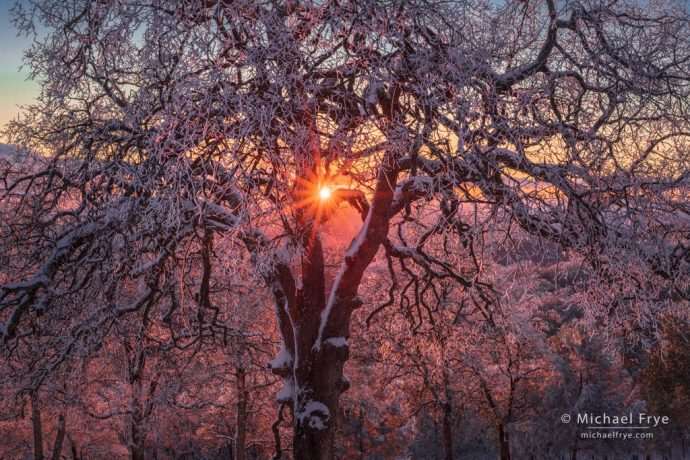 Ice-coated oaks at sunset, Mariposa County, CA, USA