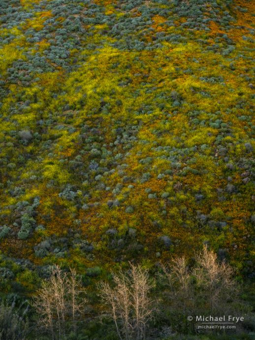 Poppies, mustard, and sycamores, Walker Canyon, CA, USA