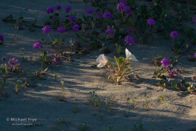 Primrose and verbena, Anza-Borrego Desert SP, CA, USA