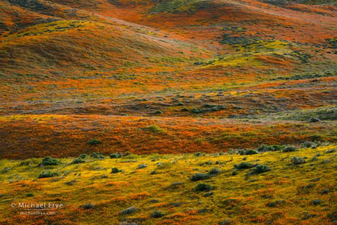 Hills covered in poppies and goldfields, Antelope Valley, CA, USA