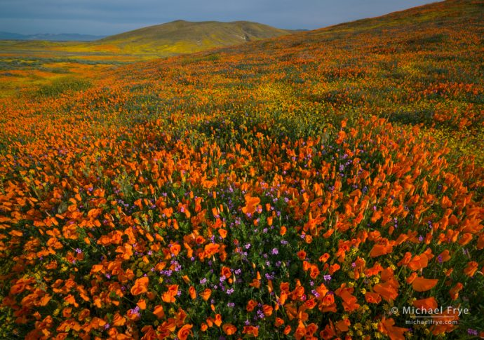 Poppies, goldfields, and gilia, Antelope Valley, CA, USA
