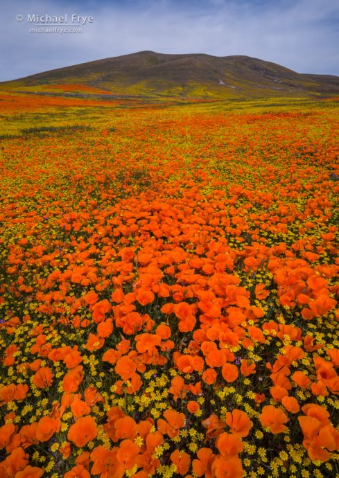 Poppies and goldfields, Antelope Valley, CA, USA