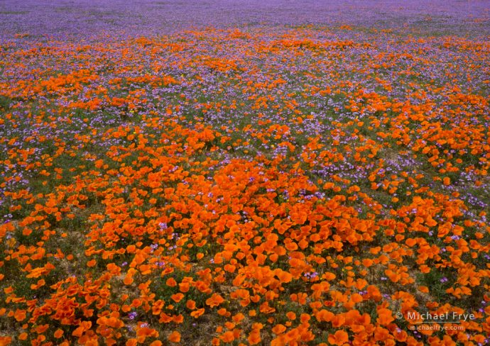 Poppies and gilia, Antelope Valley, CA, USA