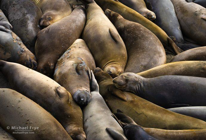 Northern elephant seals near San Simeon, CA, USA