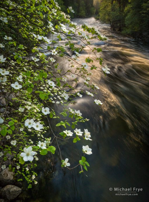 Dogwood and late-afternoon light along the Merced River, Yosemite NP, CA, USA