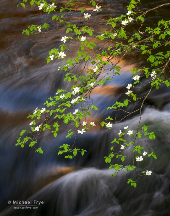 Dogwood, rapids, and reflections, Yosemite NP, CA, USA