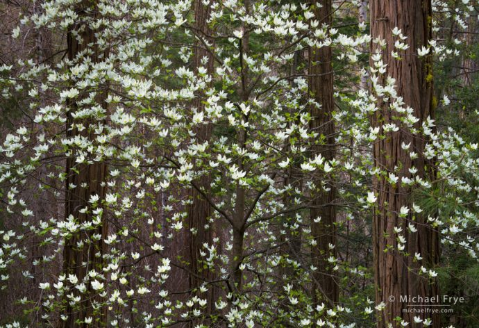 Dogwood and cedars, Yosemite NP, CA, USA