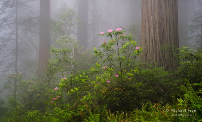 Redwoods, rhododendrons, and fog, northern California, USA