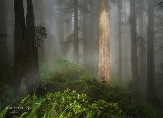 Fogbow in a redwood forest, northern California, USA
