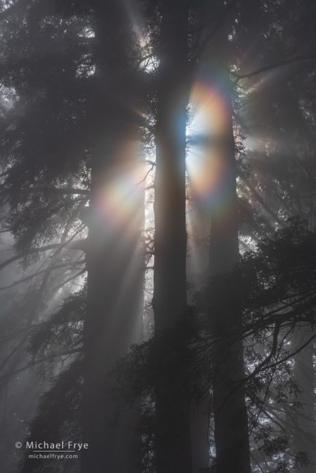 Redwoods with sunbeams and a corona, northern California, USA