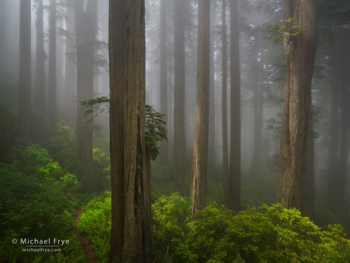 Trail through a redwood forest in the fog, northern California, USA
