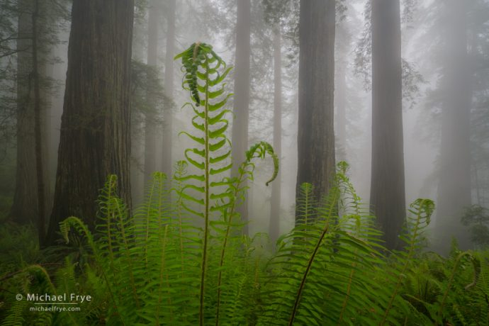 Ferns and redwoods in the fog, northern California, USA