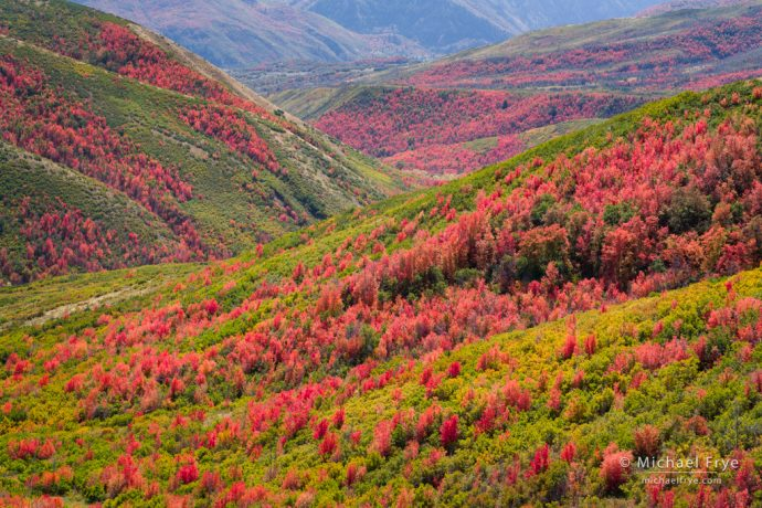 Maple-covered hillsides, Wasatch Mountains, UT, USA
