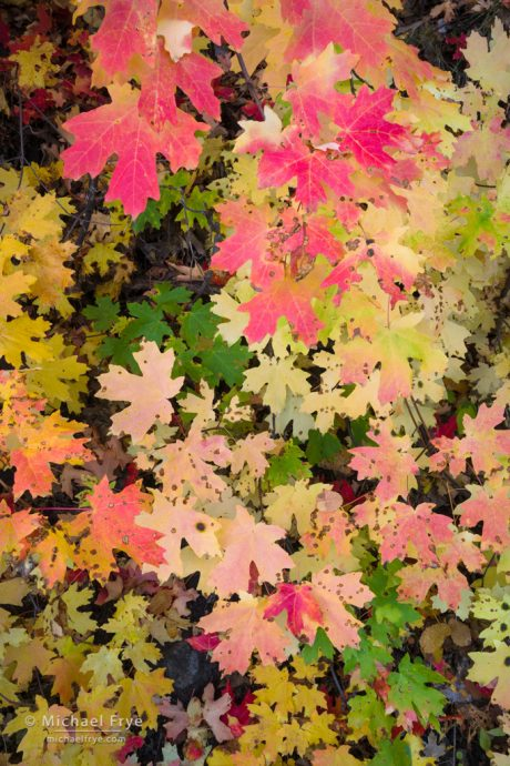 Bigtooth maple leaves, Utah, USA
