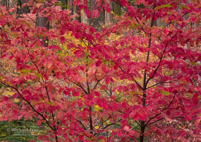 Red dogwood, autumn, Yosemite NP, CA, USA