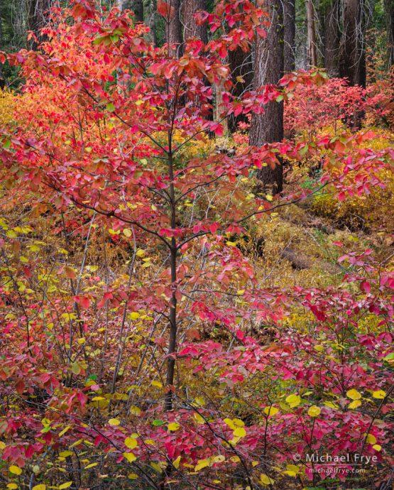Dogwood and sugar pines, autumn, Yosemite NP, CA, USA
