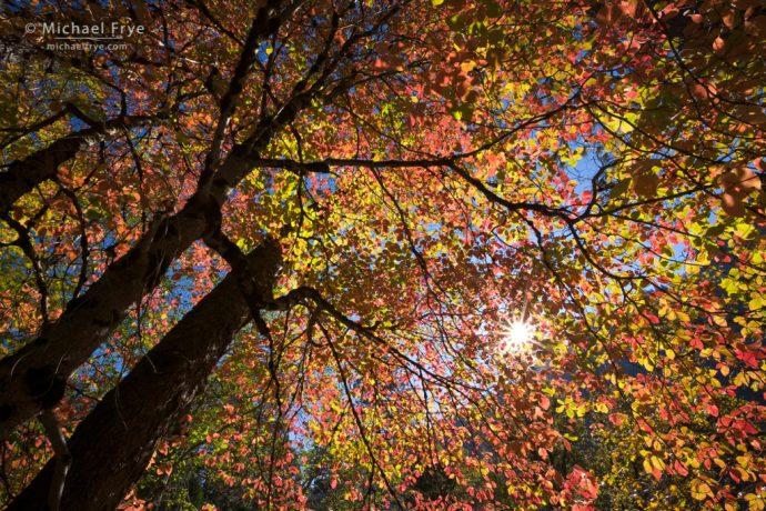 Sunlit dogwoods, autumn, Yosemite NP, CA, USA