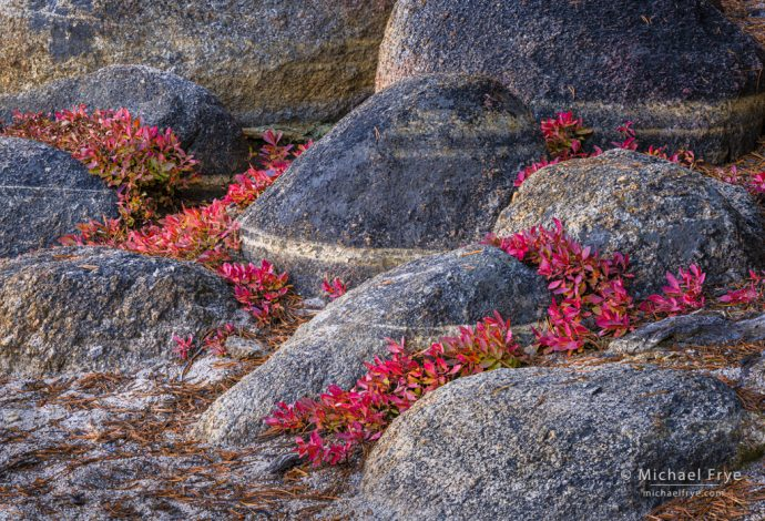 Blueberry leaves and granite boulders, Yosemite NP, CA, USA