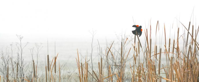 3. Reeds and red-winged blackbird, San Joaquin Valley, California