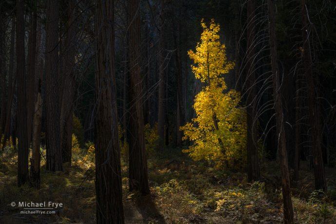 32. Big-leaf maple in a burned forest, Yosemite NP, California
