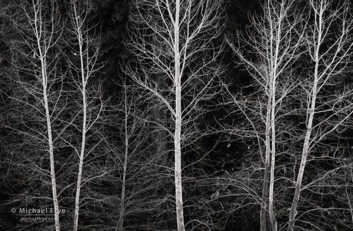 37. Cottonwood trees, winter, Yosemite NP, California