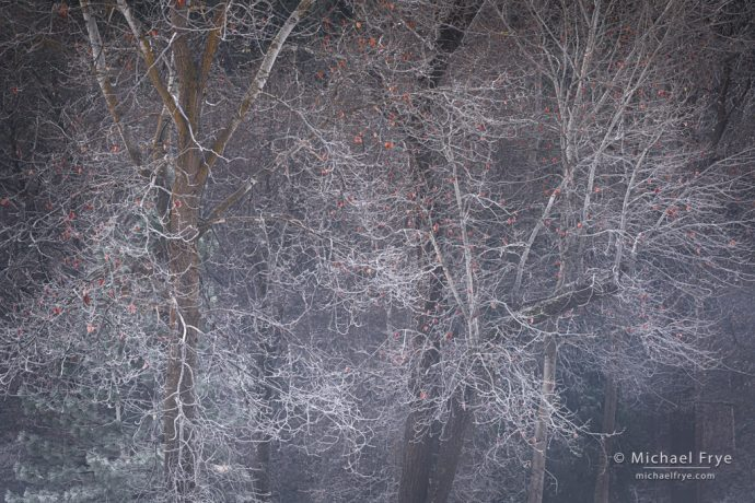 Frosted cottonwood trees, Yosemite NP, CA, USA