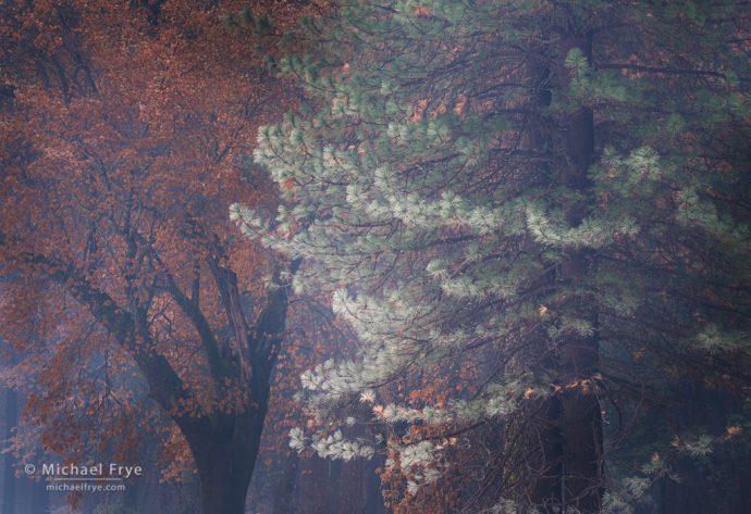 Oak and frost-tipped ponderosa pine, Yosemite NP, CA, USA