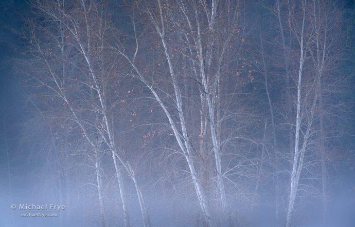 Cottonwoods and mist, Yosemite NP, CA, USA