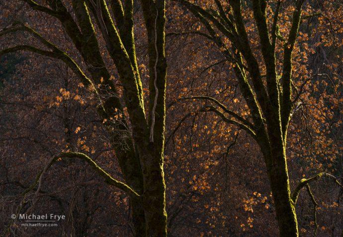 Mossy oaks, Yosemite NP, CA, USA