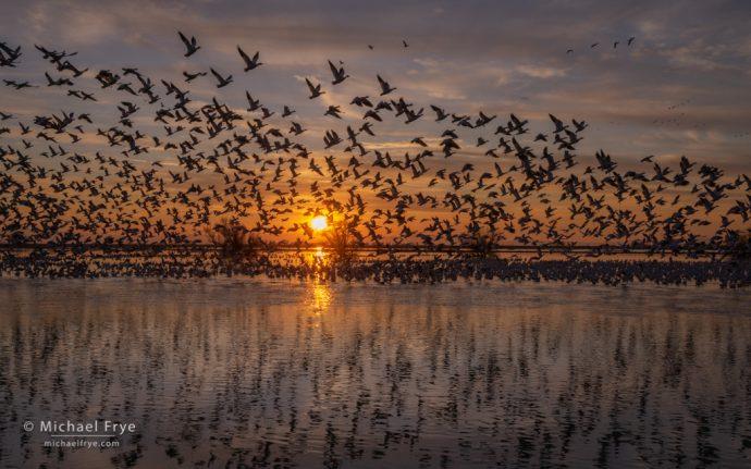 43. Ross's geese taking flight at sunset, San Joaquin Valley, California