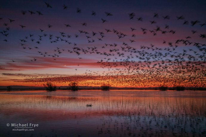 44. Ross's geese and crescent moon at sunset, San Joaquin Valley, California