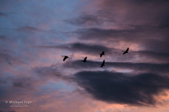 9. Sandhill cranes at sunset, San Joaquin Valley, California