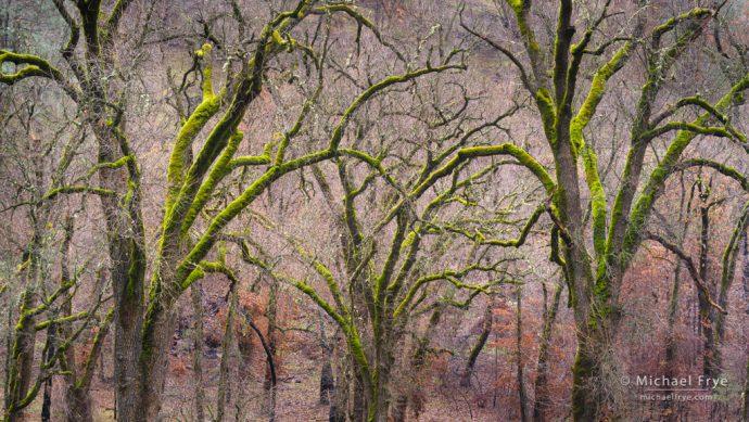 1. Mossy oaks, Mariposa County, CA, USA