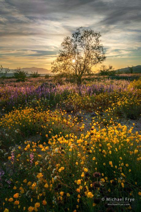 12. Desert in bloom at sunset, Joshua Tree NP, California