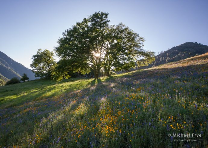 Poppies, lupines, and oaks, late afternoon, Sierra Nevada foothills, CA, USA