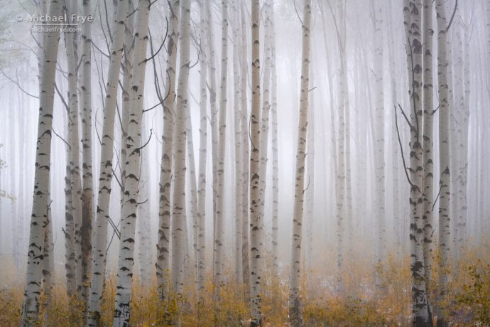 Aspens in fog, White River NF, CO, USA