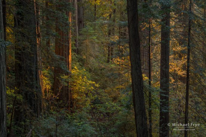Late-afternoon light in a redwood forest, Northern California, USA