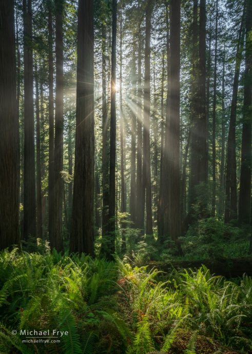 Redwoods, ferns, and sunbeams, northern California, USA