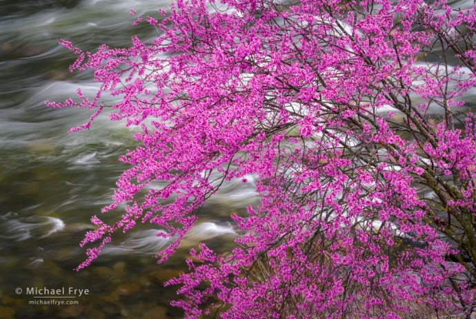 Redbud above a rapid in the Merced River, CA, USA