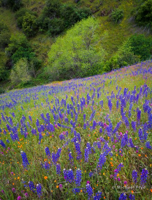 Lupines, poppies, and owl's clover, Mariposa County, CA, USA