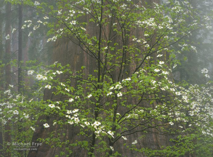 Dogwood and giant sequoia in the fog, Sierra NF, CA, USA