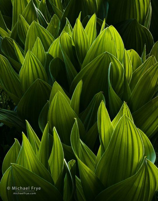 Corn lilies, Yosemite NP, CA, USA