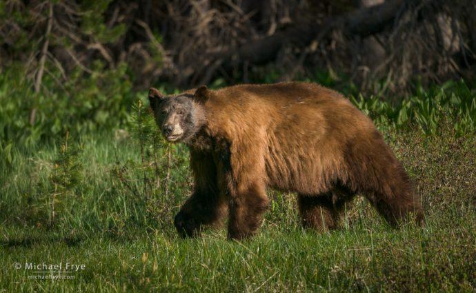 Cinnamon black bear, Yosemite NP, CA, USA