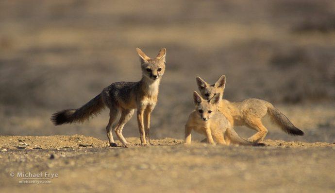 San Joaquin kit foxes, San Joaquin Valley, CA, USA