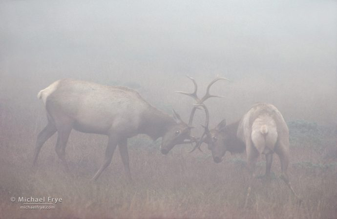 Tule elk bulls in fog, Pt. Reyes National Seashore, CA, USA