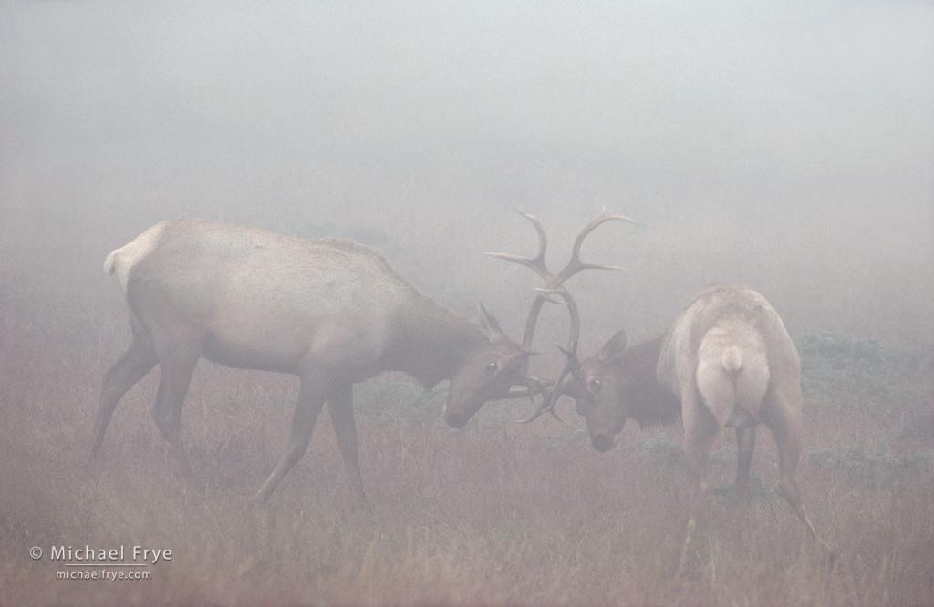 From the Archives: Tule Elk in Fog