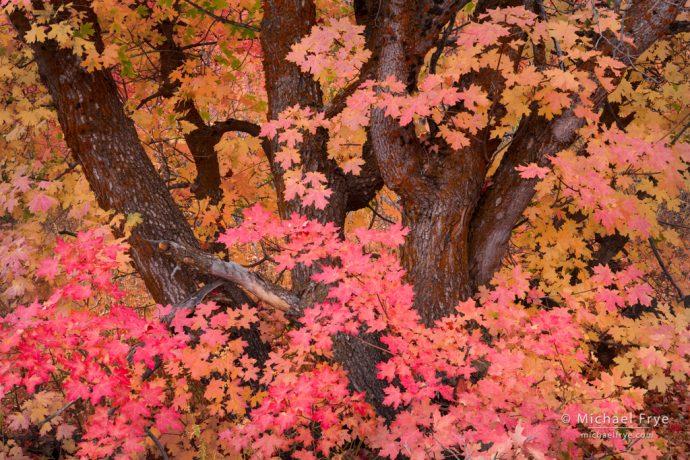 Bigtooth maple, northern Utah, USA